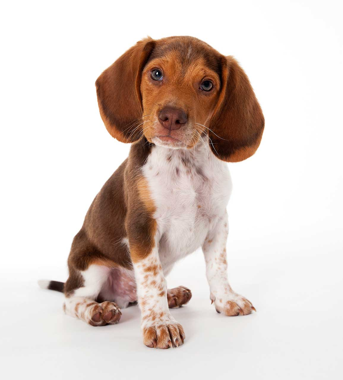 Brown and white puppy breeds