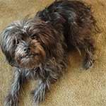 Black And Silver Affenpinscher