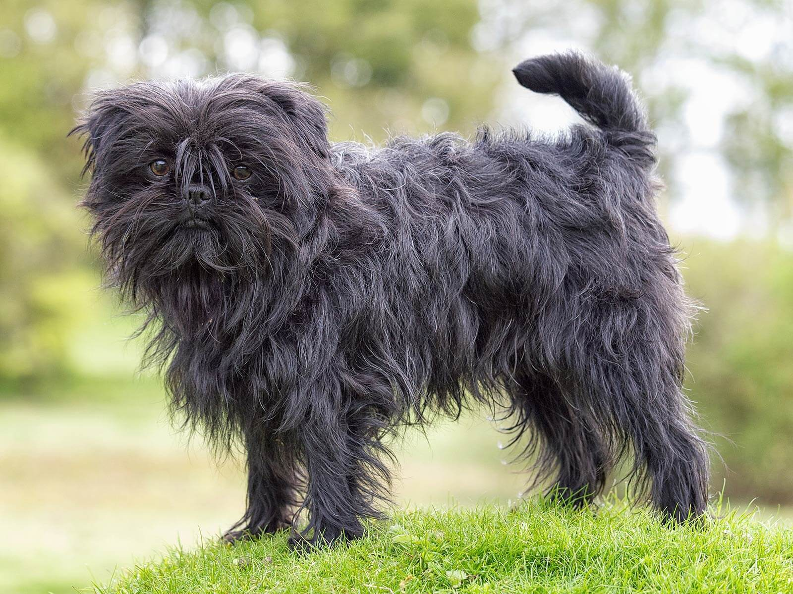 How to Groom an Affenpinscher advise