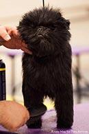Affenpinscher grooming