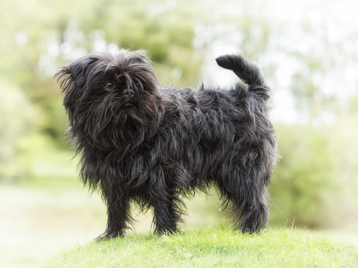 Discussion on this topic: How to Groom an Affenpinscher, how-to-groom-an-affenpinscher/