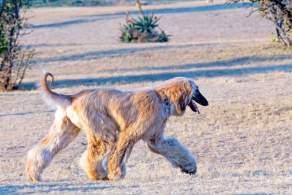 Cream Afghan Hound Walking Outside
