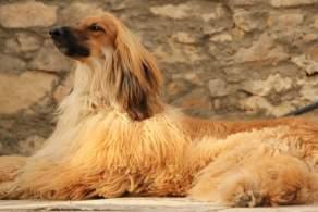 Red Afghan Hound