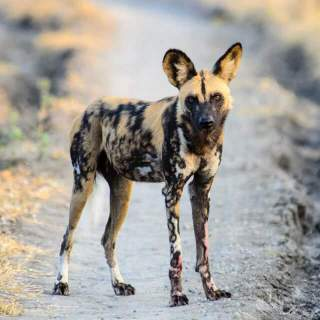 African Wild Dog Breed Everything About