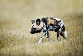 African Wild Dog Hunting