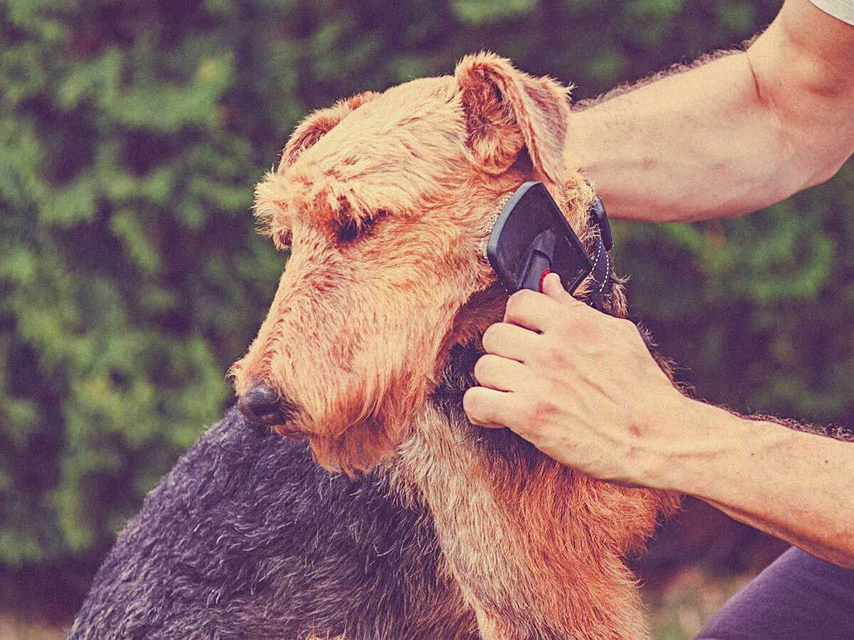 Airedale Terrier Grooming How To Groom A Airedale Terrier