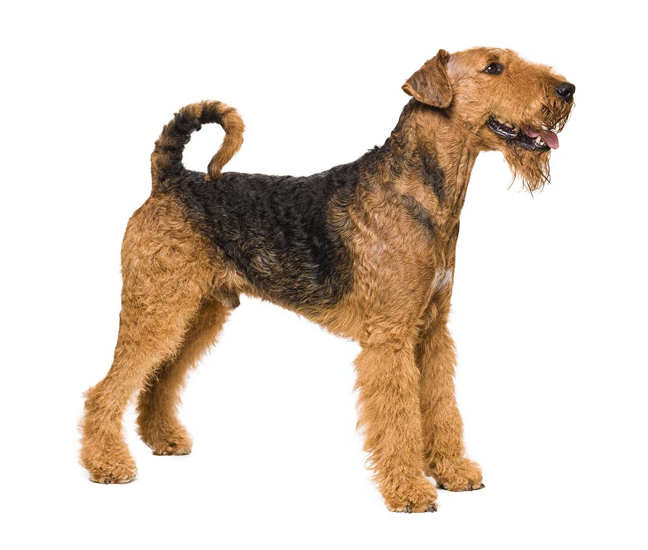 Airedale Terrier Dog Breed Pictures Photos Amp Images