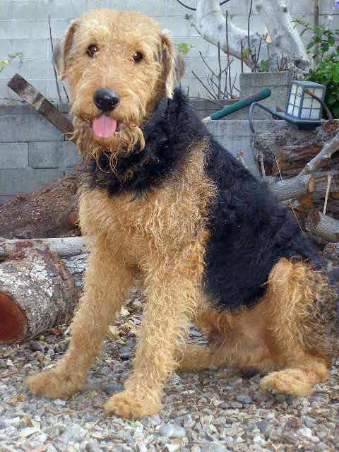 airedale terrier dog breed 187 information pictures amp more