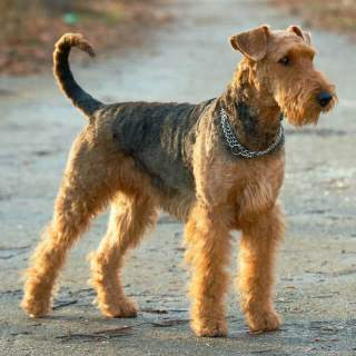 airedale terrier dog breed information pictures more