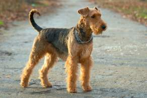 Grizzle and Tan Airedale Terrier