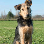 Airedoodle - Airedale Terrier Poodle Mix