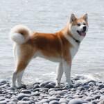 Red Akita at the Beach