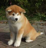 Fawn Akita Puppy