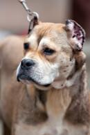 Alano Espanol (Spanish Bulldog)
