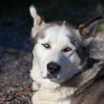 Gray Alaskan Husky