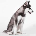 Grey & White Alaksan Klee Kai