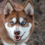 Red & White Alaskan Klee Kai