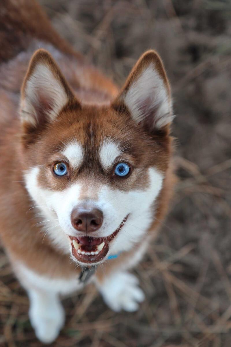 Alaskan Klee Kai Dog Breed Everything