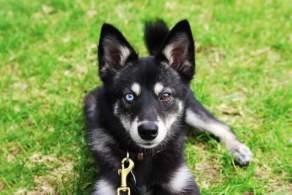 Black & White Alaskan Klee Kai