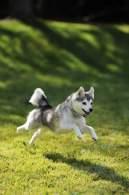 Alaskan Klee Kai Running