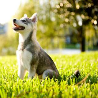 Grey & White Alaskan Klee Kai Puppy