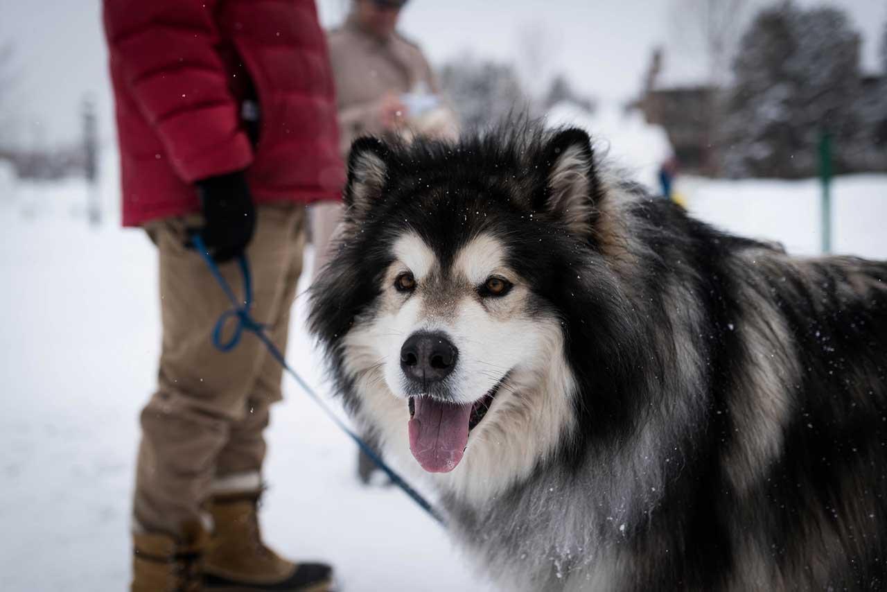 alaskan malamute dog breed  u00bb information  pictures   u0026 more