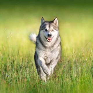 Alaskan Malamute Running