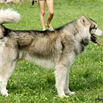 Sable And White Alaskan Malamute