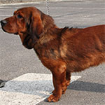 Dark Deer Red Alpine Dachsbracke