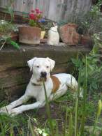 Red & White American Bulldog