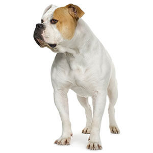 Tan & White American Bulldog