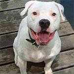 White American Bulldog