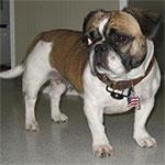 American Bullnese Dog Breed