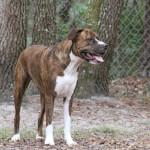 Brindle American Bullweiler (American Bulldog Rottweiler Mix)
