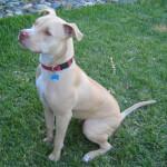 Light Fawn Pit Bull Terrier