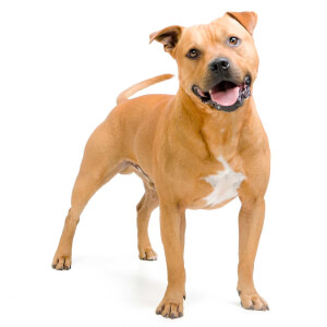 Fawn Pit Bull Terrier