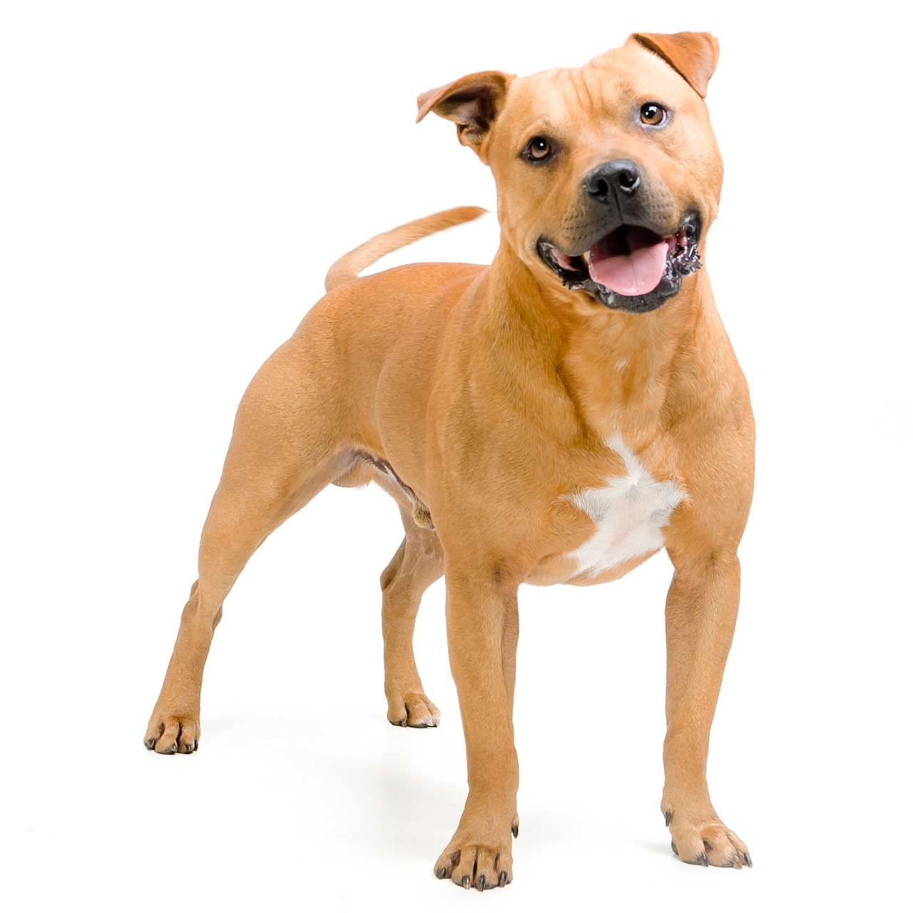 pittbull terrier american pit bull terrier dog breed 187 everything about the 6760