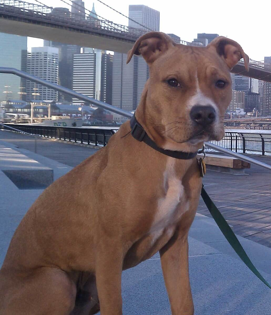 American Pit Bull Terrier Dog Breed » Everything About The