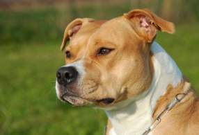 White and Tan American Staffordshire Terrier