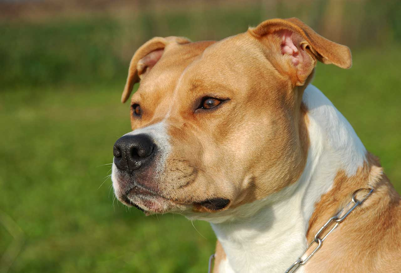 american staffordshire terrier - photo #37