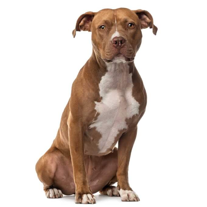 American Staffordshire Terrier Dog Breed 187 Everything