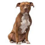 Red American Staffordshire Terrier
