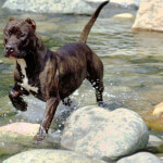 Black Brindle American Staffordshire Terrier