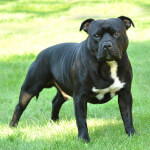 Black American Staffordshire Terrier
