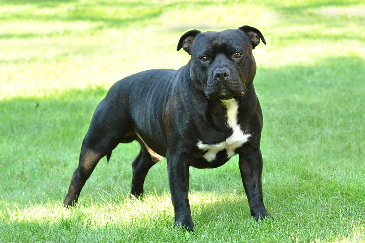 black american staffordshire terrier american staffordshire terrier dog breed 187 everything 512