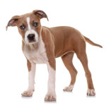 Red American Staffordshire Terrier Puppy