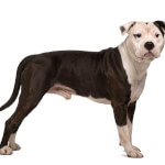 Black & White American Staffordshire Terrier