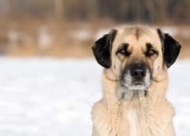 Anatolian Shepherd Dog (Kangal)