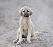 Anatolian Shepherd Dog Puppy