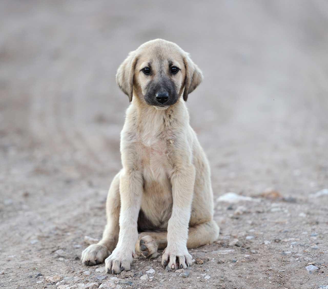 Anatolian Shepherd Dog Breed » Everything About Anatolian ...